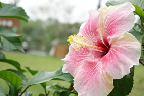 Medium hibiscus 1583078 1920