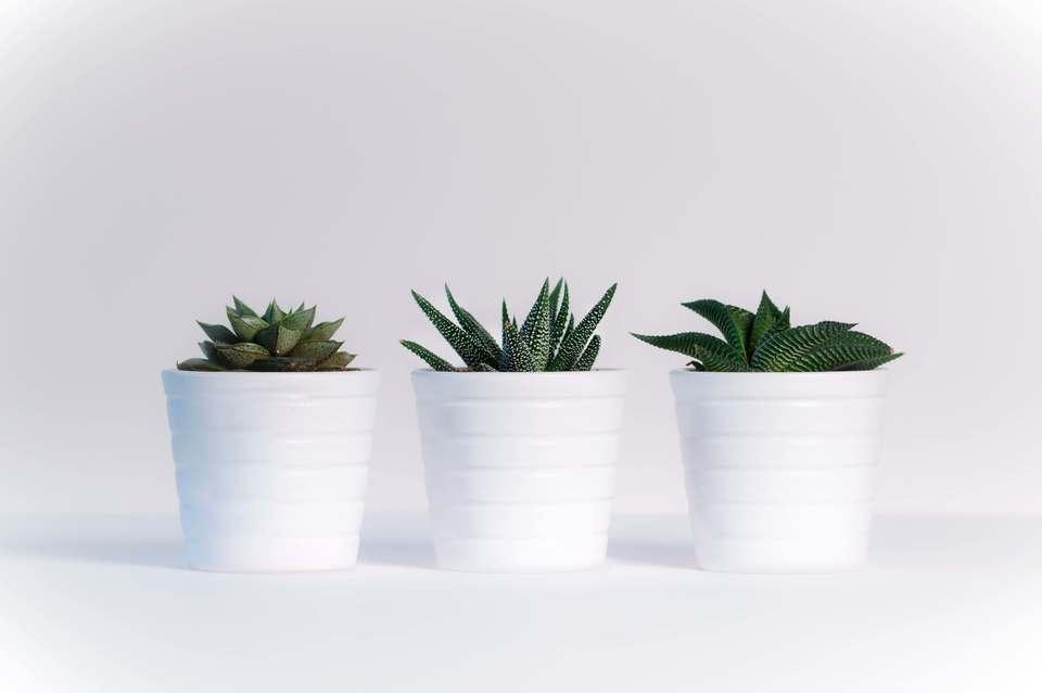 ダイソーで買える観葉植物