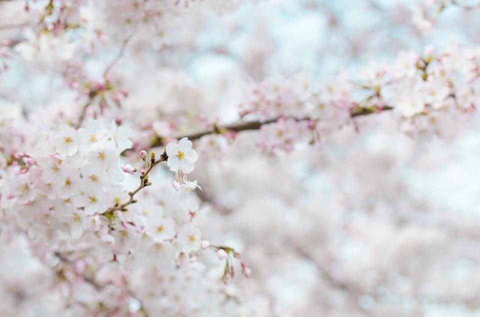 Large spring flowers stroll cherry blossom 71859  1